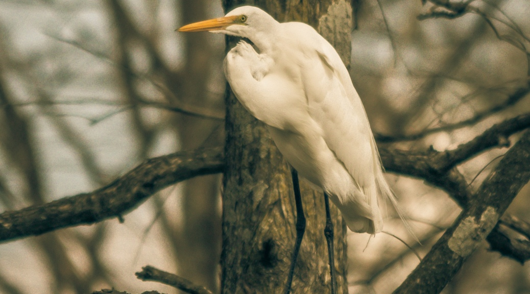 Portrait Of Great Egret - Click To Enlarge