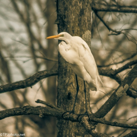 Portrait Of Great Egret - Click To Enlarge
