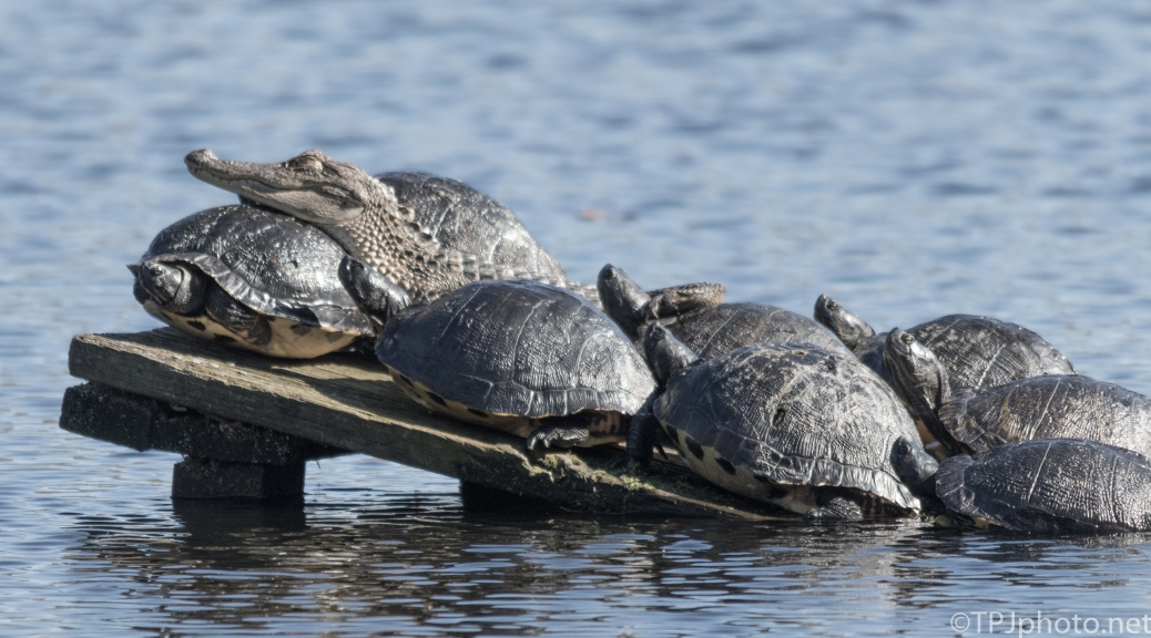 Alligator And Turtles - Click To Enlarge
