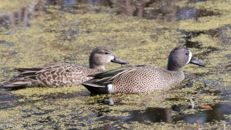 Pair Of Blue Winged Teal - Click To Enlarge