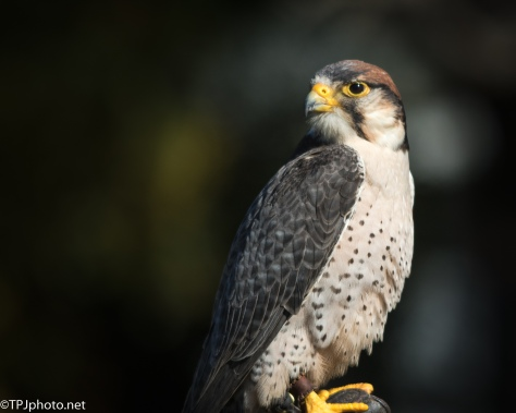 Regal Lanner Falcon - Click To Enlarge