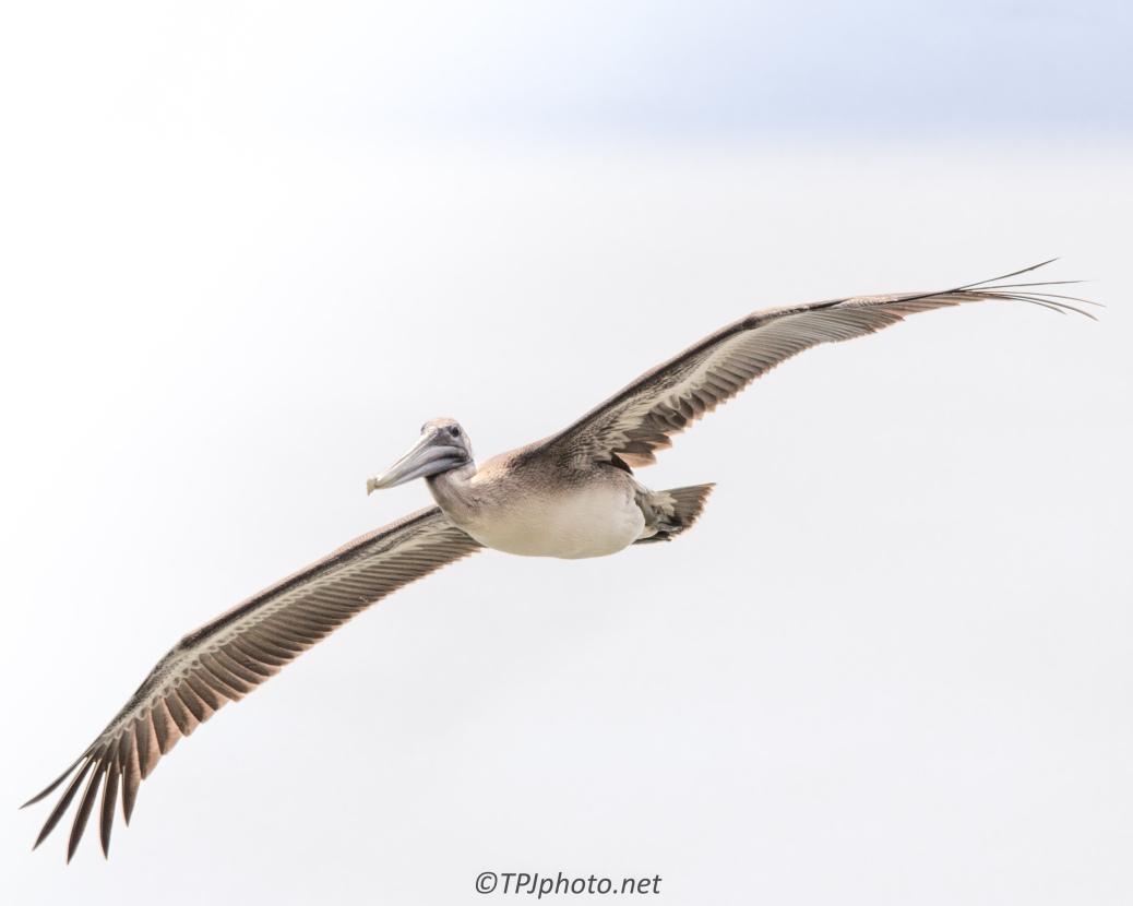Brown Pelican - Click To Enlarge