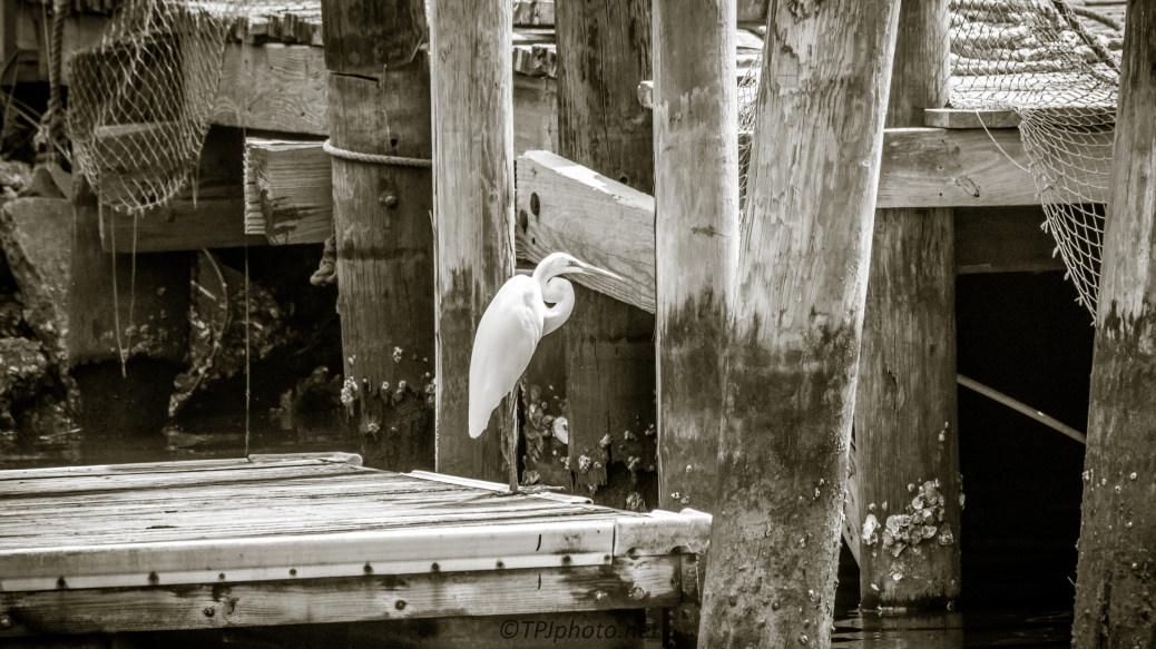 Egret, Commercial Fishing Pier - Click To Enlarge