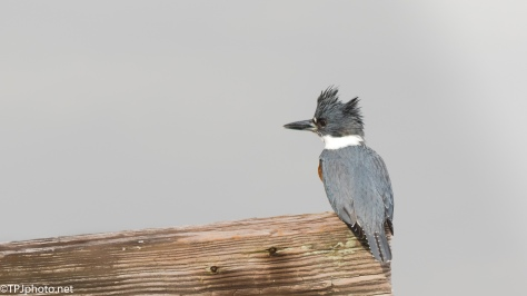 Belted Kingfisher - Click To Enlarge
