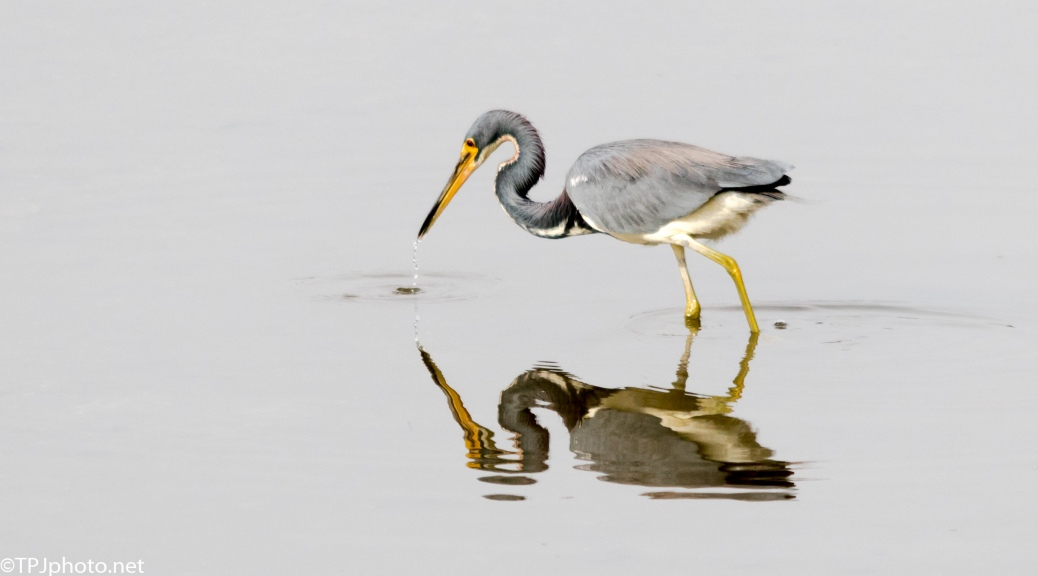 Tricolored Heron Fishing - Click To Enlarge