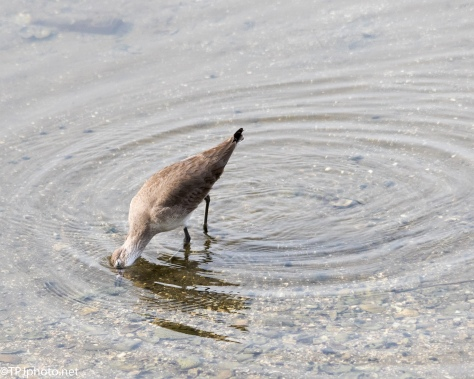 Willet Oyster Digging - Click To Enlarge