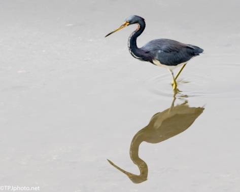 A Small Tricolored Heron - Click To Enlarge
