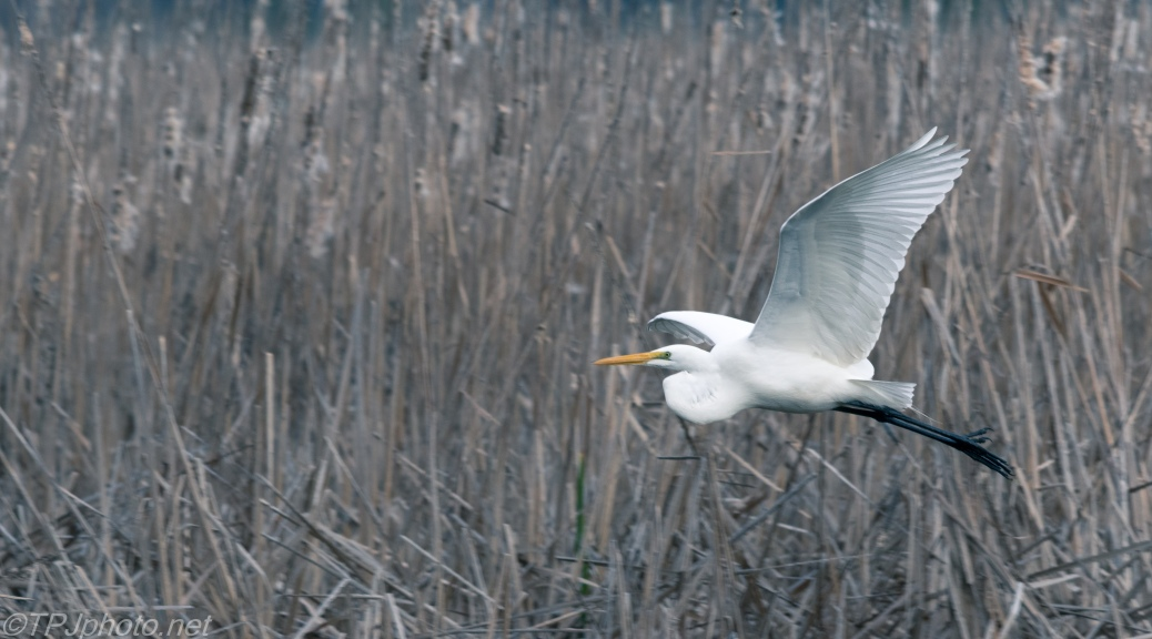 Great Egret In Dark Reeds - Click To Enlarge
