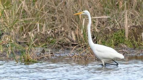 Great Egret In A marsh - Click To Enlarge