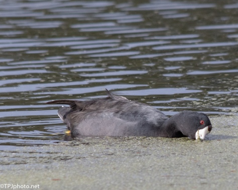 Gallinule And Duck Weed - Click To Enlarge