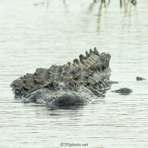 Alligator, Just Watching - Click To Enlarge