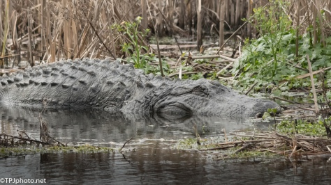 Alligator Might Be Sleeping - Click To Enlarge