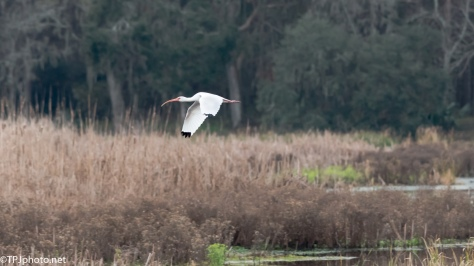 Marsh White Ibis - Click To Enlarge