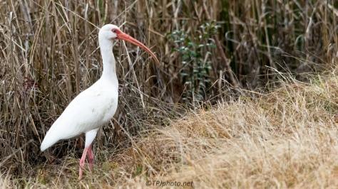 Marsh White Ibis - Click To Enlarge