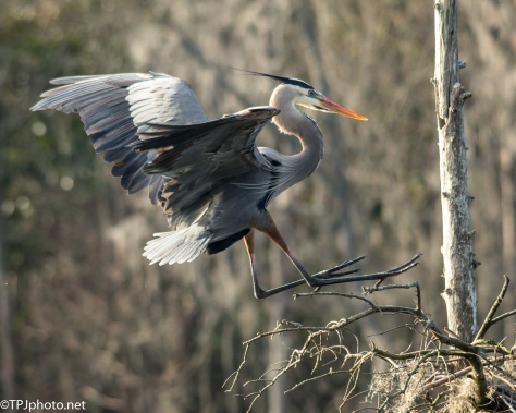 Great Blue Heron Coming To The Nest - Click To Enlarge