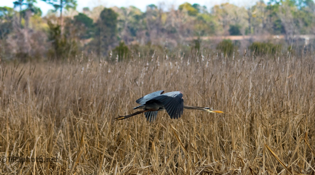 Heron Flying Through A Marsh - Click To Enlarge