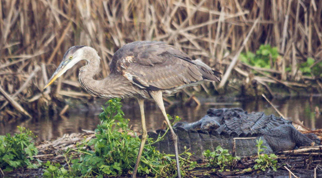 What Was He Thinking, Heron, Alligator - Click To Enlarge