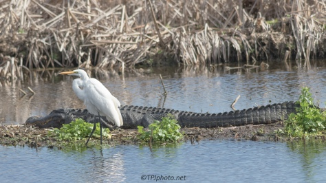 What Was He Thinking, Egret, Alligator - Click To Enlarge