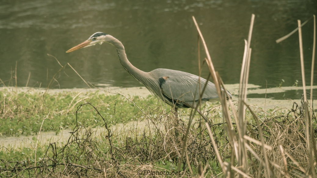 Heron Sneaking By - Click To Enlarge
