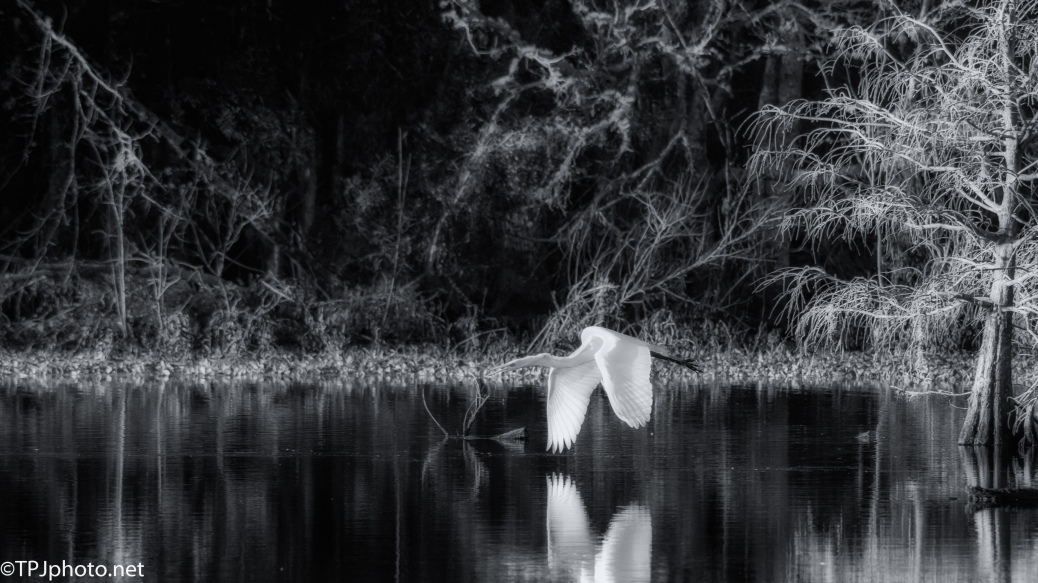 Early Egret In Black And White - Click To Enlarge