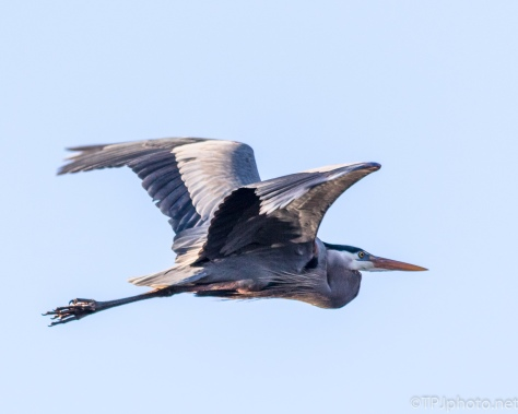 Great Blue Heron, Finally Blue Sky - Click To Enlarge