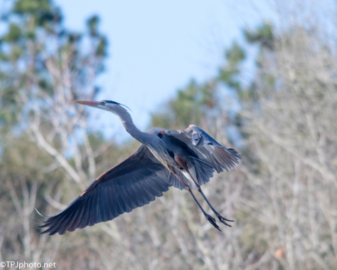 Great Blue Heron Going High - Click To Enlarge