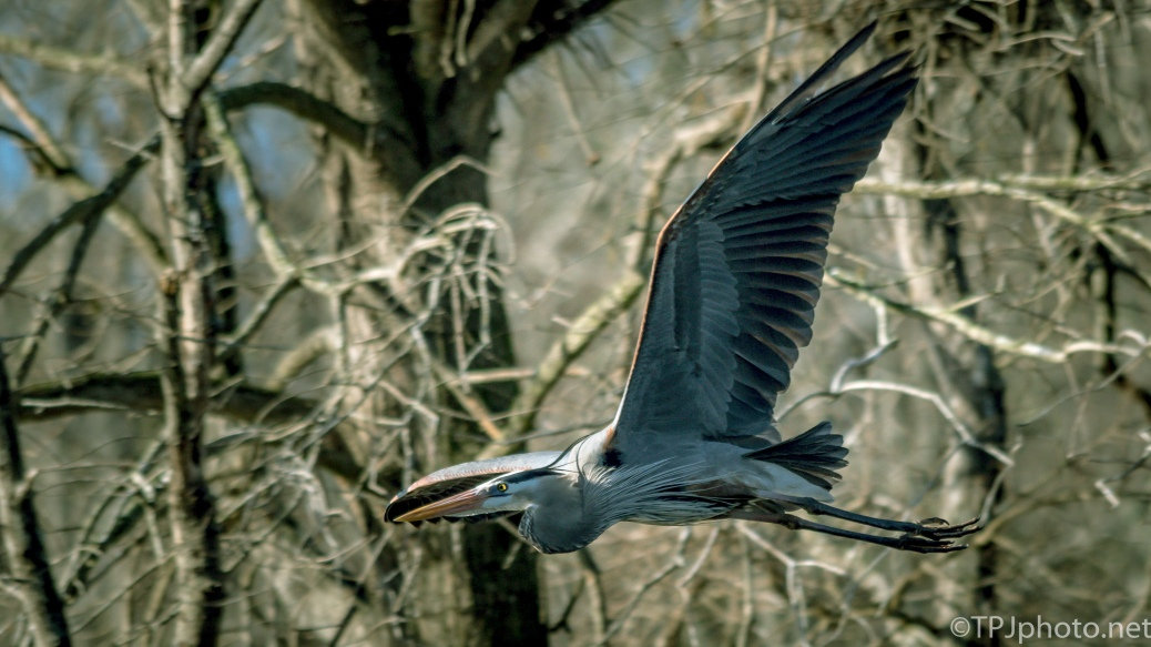 A Swift Heron - Click To Enlarge
