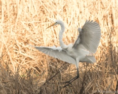 Perfect Light For A Great Egret - Click To Enlarge