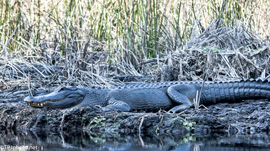 Alligator, As Big As He Looks - Click To Enlarge