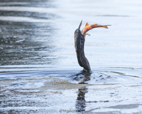Anhinga Eats Big Fish - Click To Enlarge