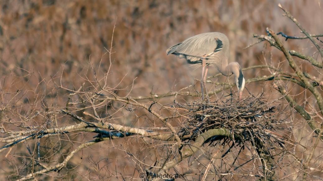 Nesting Heron Landscape - Click To Enlarge