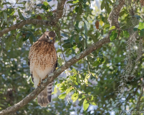 Red-shouldered Hawk Near Old Garden - Click To Enlarge