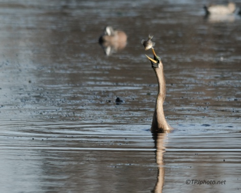 Anhinga Out Fishing - Click To Enlarge