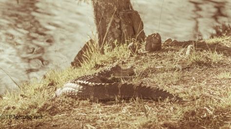 Alligator, Post Card Style - Click to enlarge