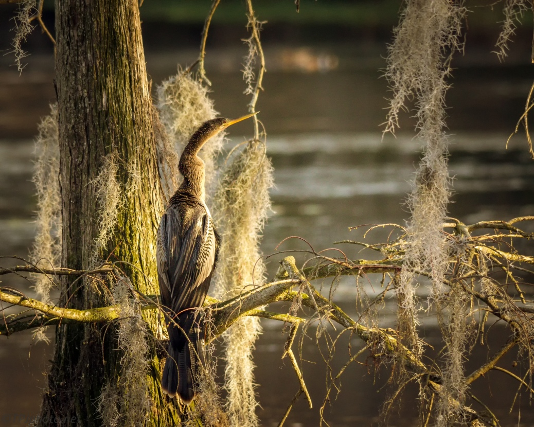Evening Light Anhinga - Click To Enlarge