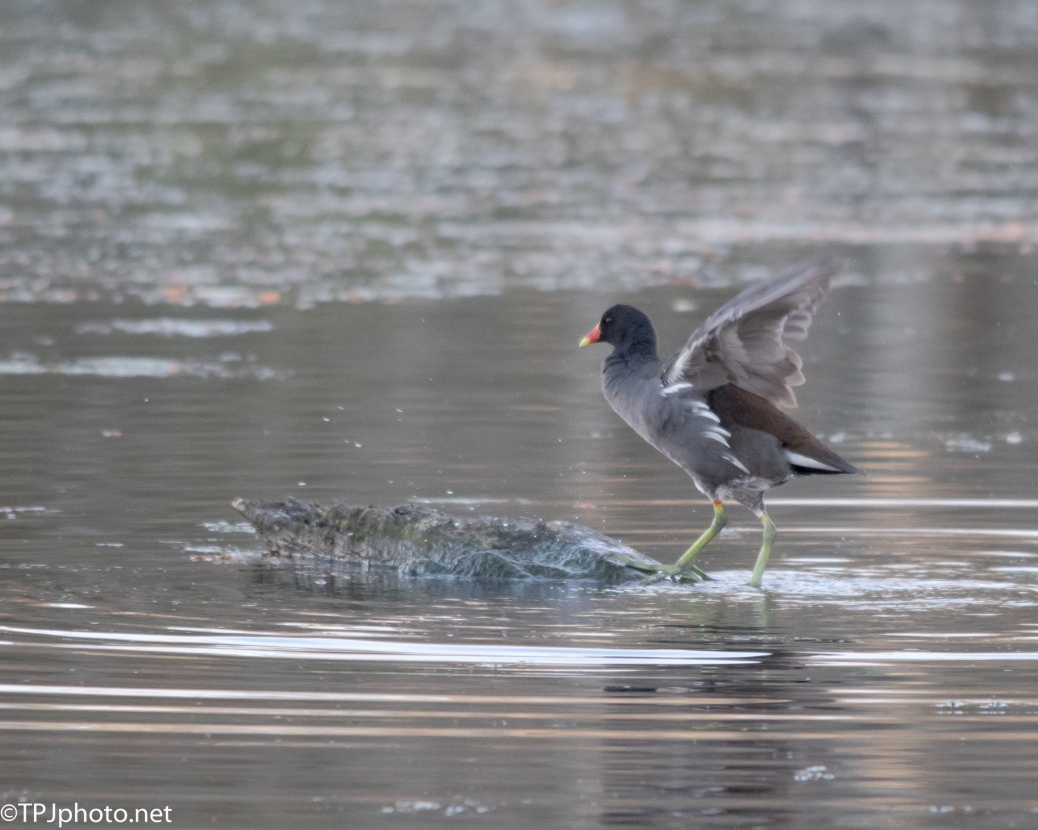 Single Gallinule - Click To Enlarge