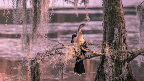 Anhinga In A Cypress - Click To Enlarge