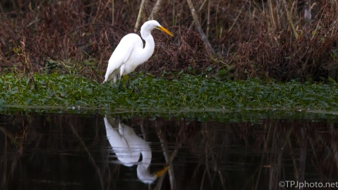 Egret Fishing On The Swamp Bank - Click To Enlarge
