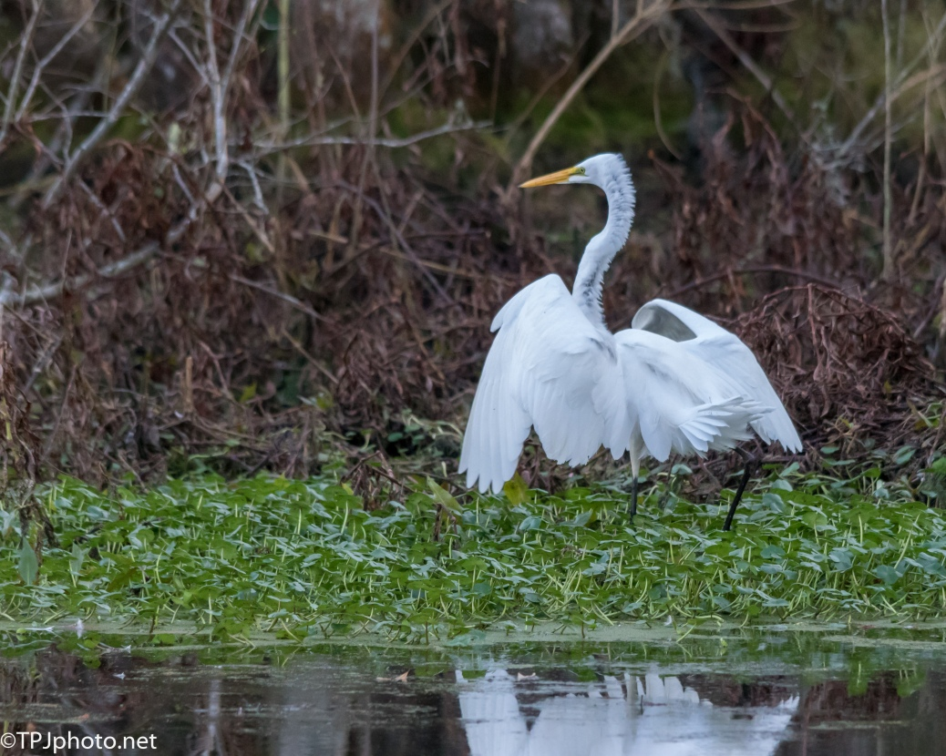 The Egrets Are Coming - Click To Enlarge