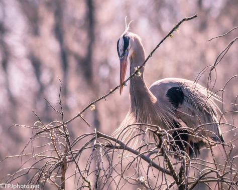 Great Blue Heron, Home Improvement - Click To Enlarge