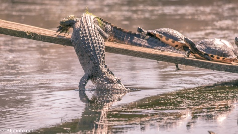 Alligator, Graceful Exit - Click To Enlarge