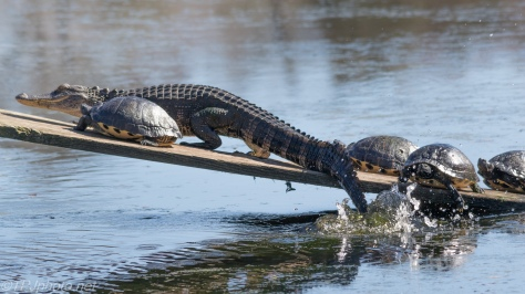Alligator, Out Of The Way - Click To Enlarge