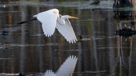 Great Egret In Flight, Low Light - Click To Enlarge
