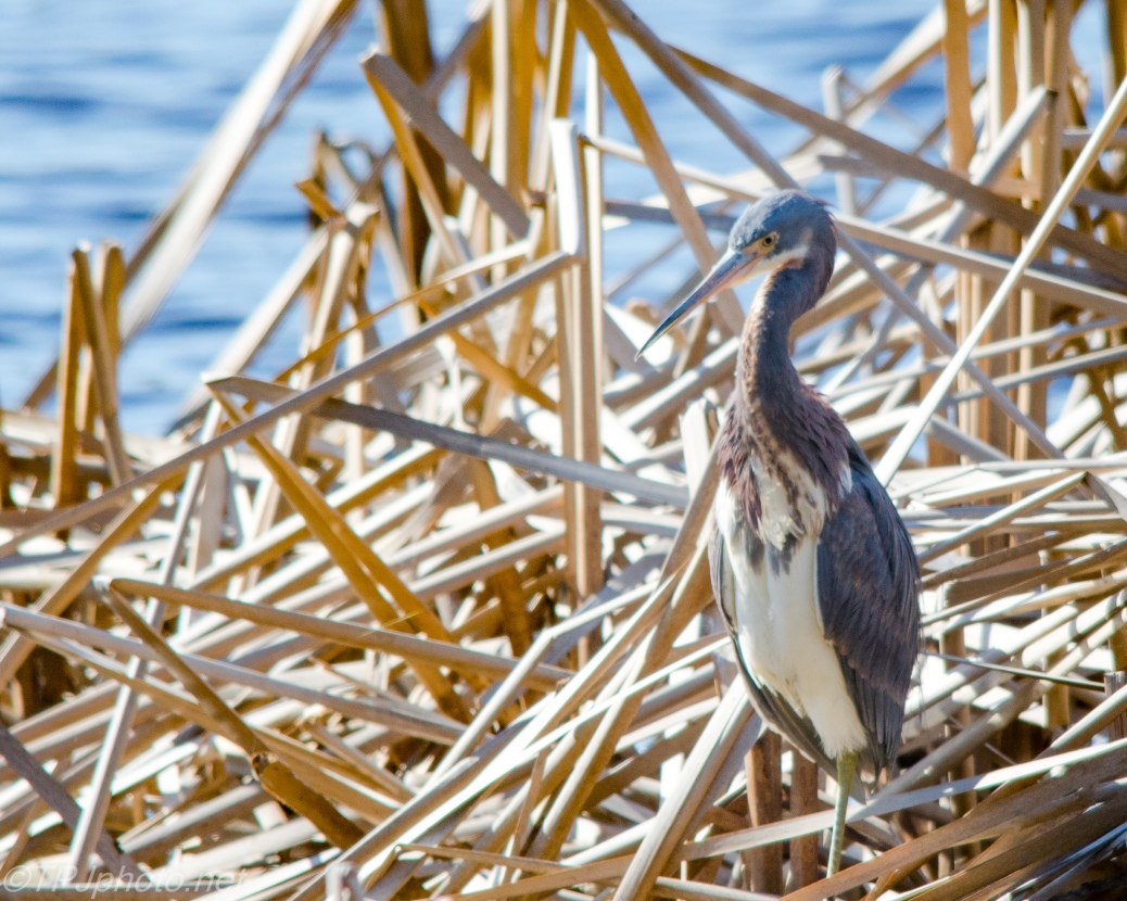 Tricolored Heron In The Cane - Click To Enlarge
