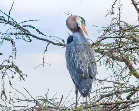 Great Blue Heron Napping - Click To Enlarge