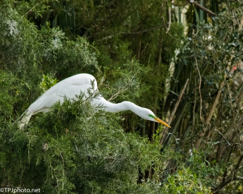 Determined, Great Egret - Click To Enlarge