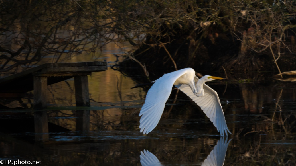 Sunset, Great Egret - Click To Enlarge