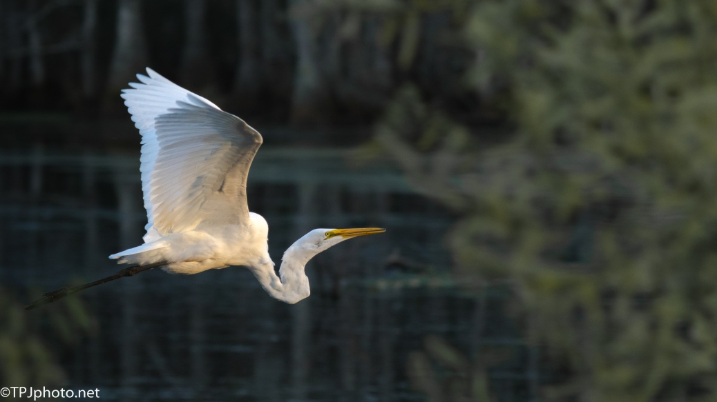 Last Great Egret Of The Day - Click To Enlarge