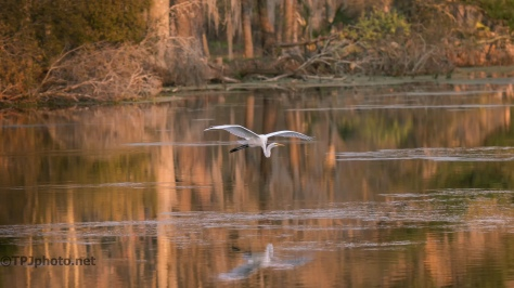 Great Egret, Golden Hour - Click To Enlarge