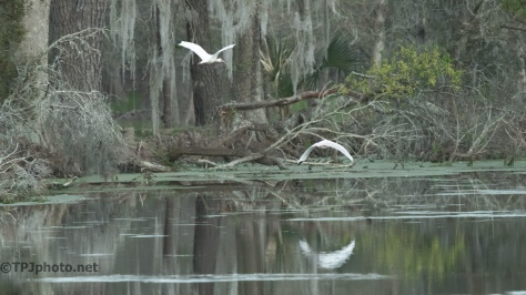 Ibis, Deeper Into The Swamp - Click To Enlarge